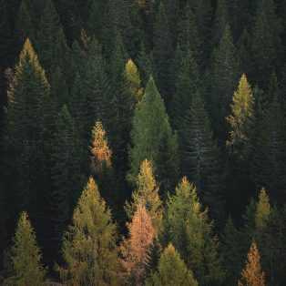 Autumn pine forest